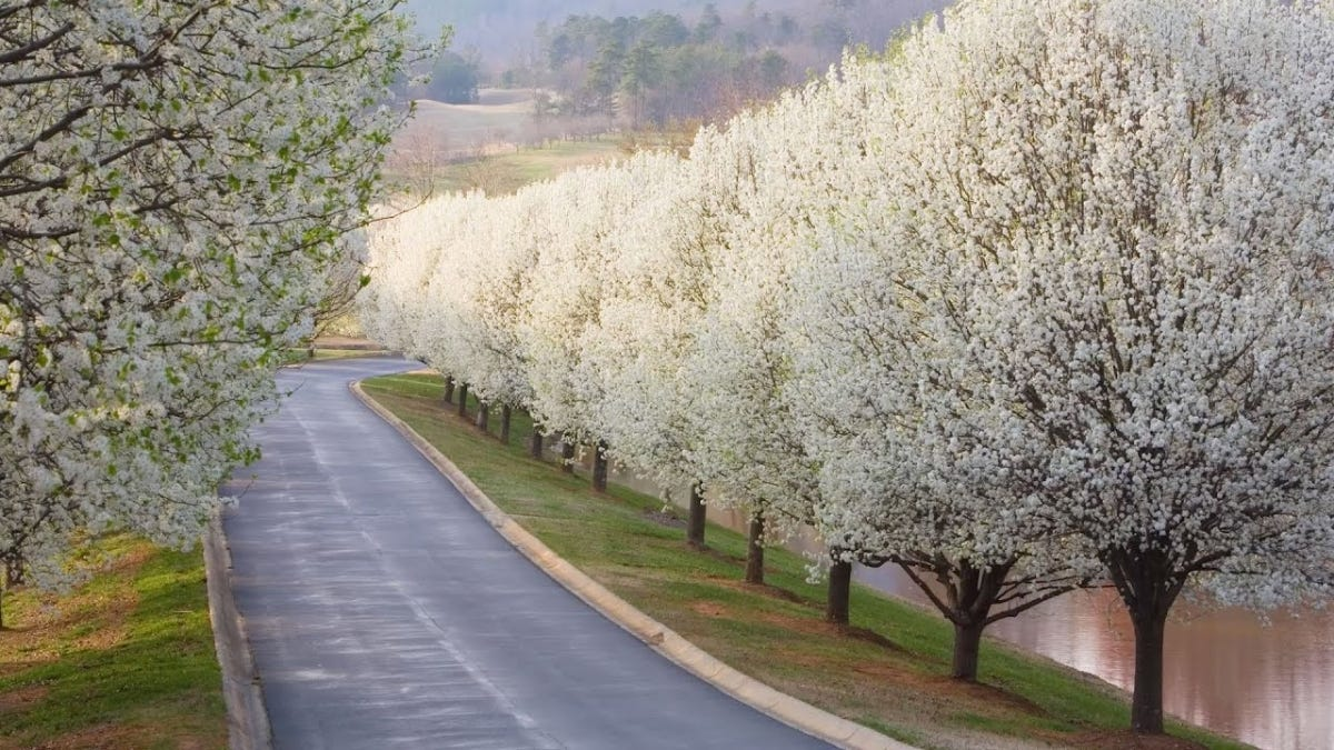 A long lane lined with Bradford Pear trees.