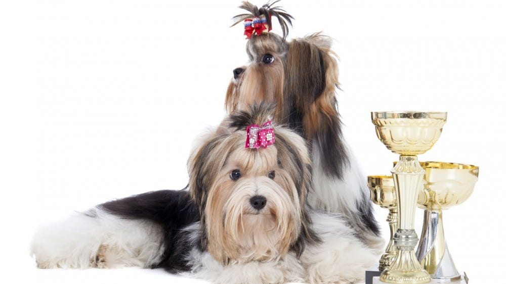 Two Yorkshire Terriers lying next to three dog show trophies.