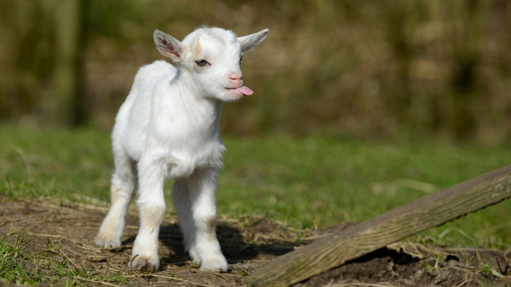 A white baby goat sticking out its tongue.
