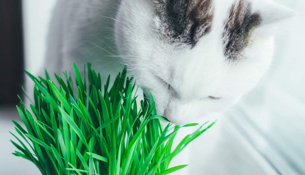 A white cat sniffing cat grass.