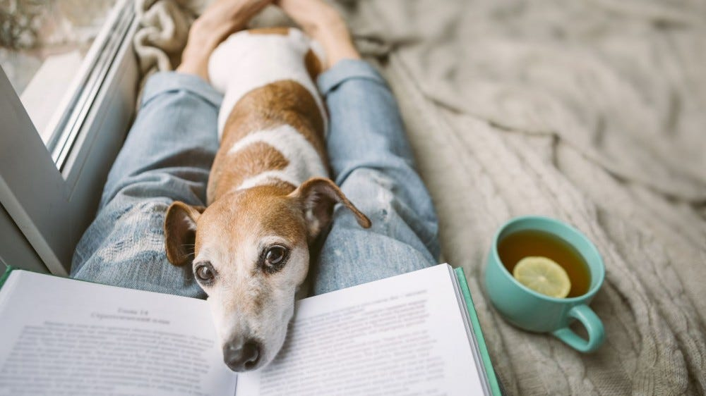 A dog who wants to cuddle lying on his owner's legs with his nose in her book.