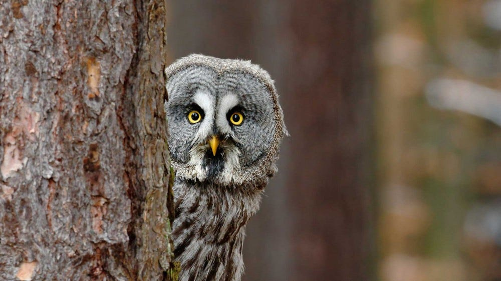 Great grey owl, Strix nebulosa, hidden behind tree trunk in the wintery forest.