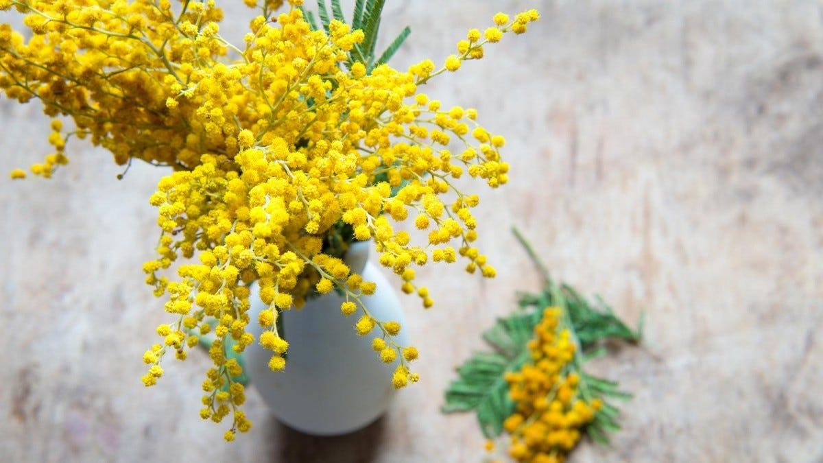 A white vase full of mimosa flowers.