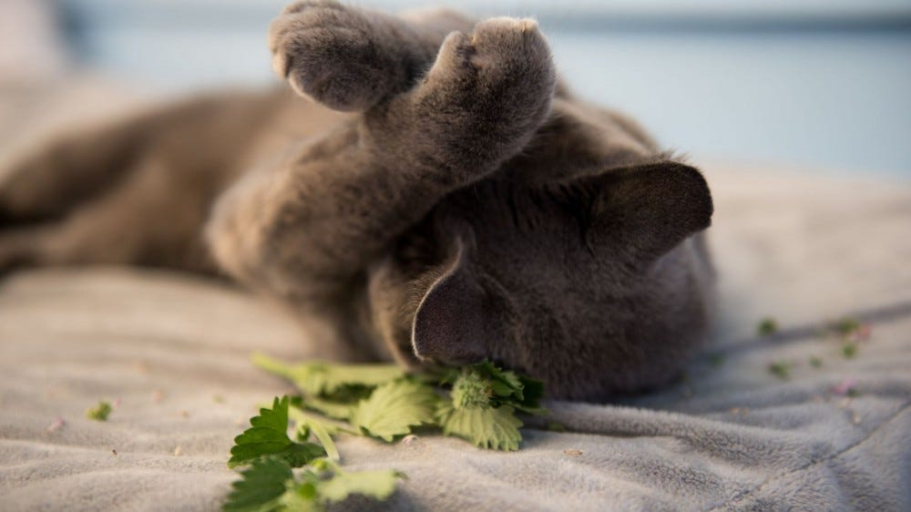 A gray cat on its back covering its eyes next to a sprig of catnip.