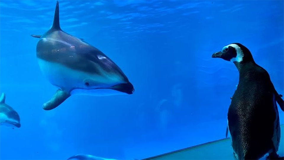 A penguin walks around the Shedd Aquarium, looking at dolphins.