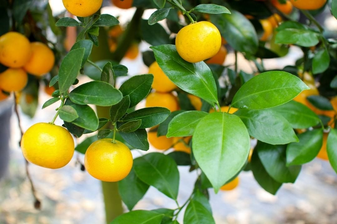 mini citrus tree