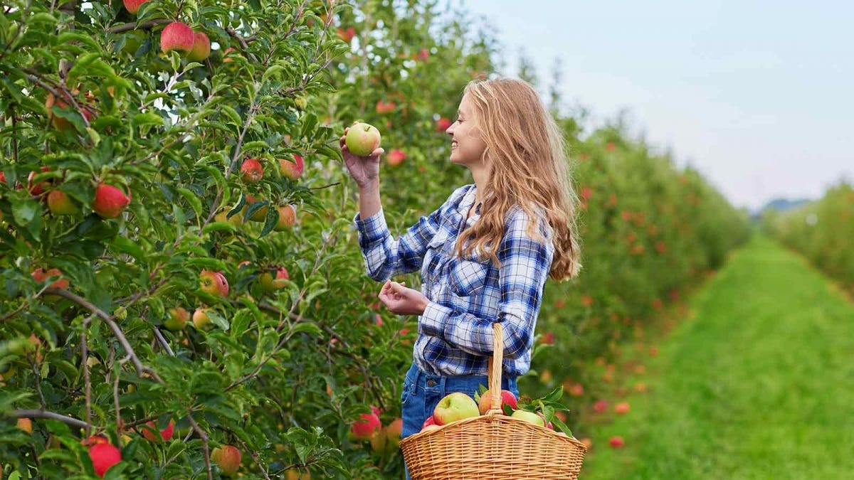 young woman picking apples at an apple orchard