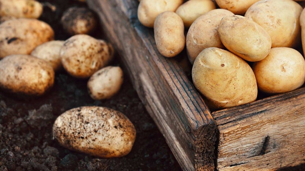 Harvested potatoes in a box next to potatoes fresh from the dirt.